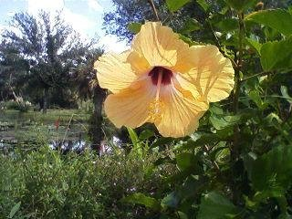 Hibiscus sinensis 'Yellow Wing'